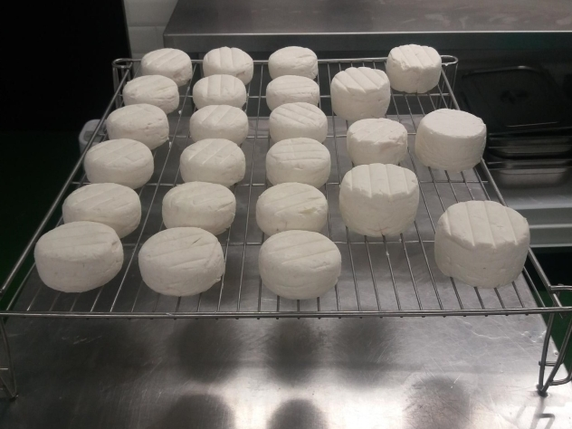 A trial batch of lactic cheeses
